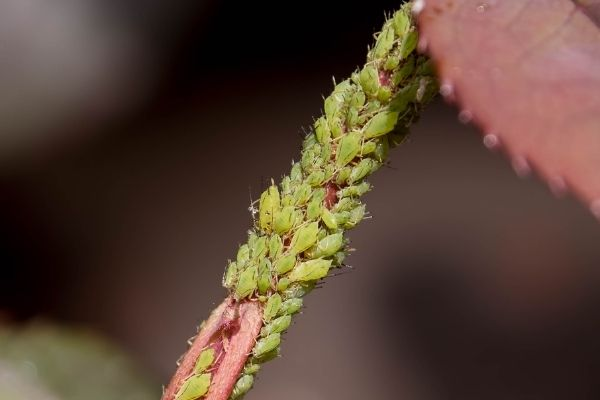 aphid infestations