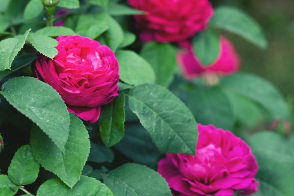 roses main feature image