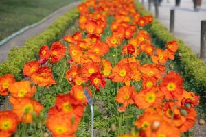 iceland poppy main feature image
